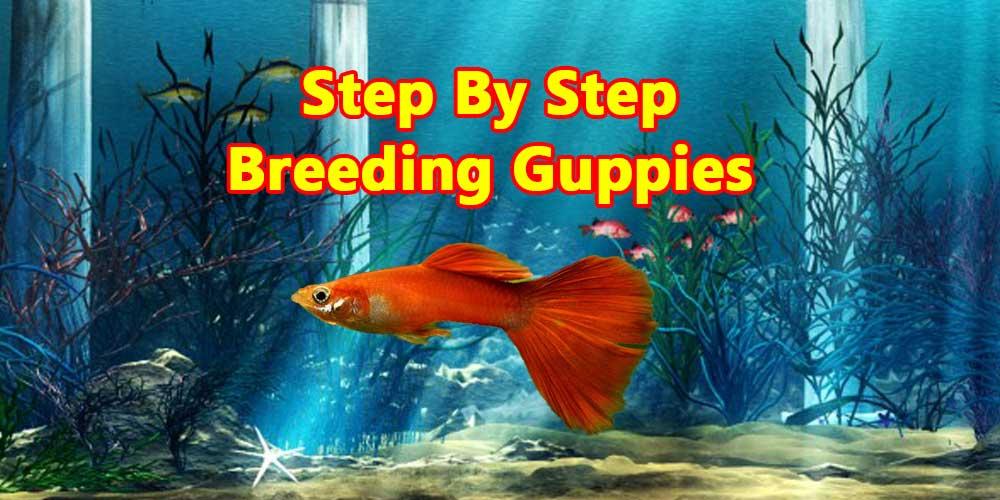 8 Easy Steps For Breeding Guppies Like A Pro Guppy Fish